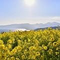 写真: 太陽の光の中吾妻山公園の菜の花畑 20180204