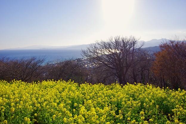 夕暮れの吾妻山。。菜の花と。。20180204
