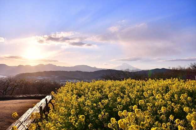 だんだん日暮れへ吾妻山公園。。青い空と西陽一緒 菜の花畑 20180204