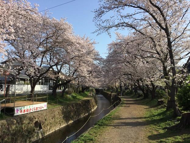撮って出し。。地元の桜の名所 住宅街にある千本桜 3月31日