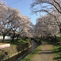 Photos: 撮って出し。。地元の桜の名所 住宅街にある千本桜 3月31日