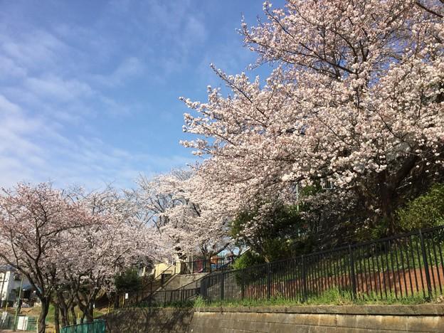 撮って出し。。地元の人の憩いの場引地川の千本桜 3月31日