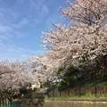 Photos: 撮って出し。。地元の人の憩いの場引地川の千本桜 3月31日