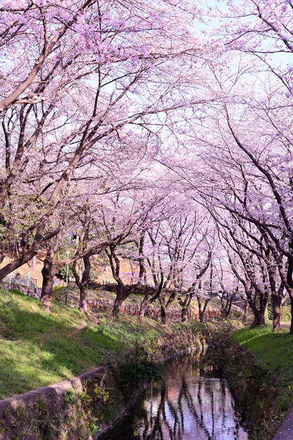 Photos: 撮って出し。。引地川沿い咲く桜並木 千本桜 3月31日