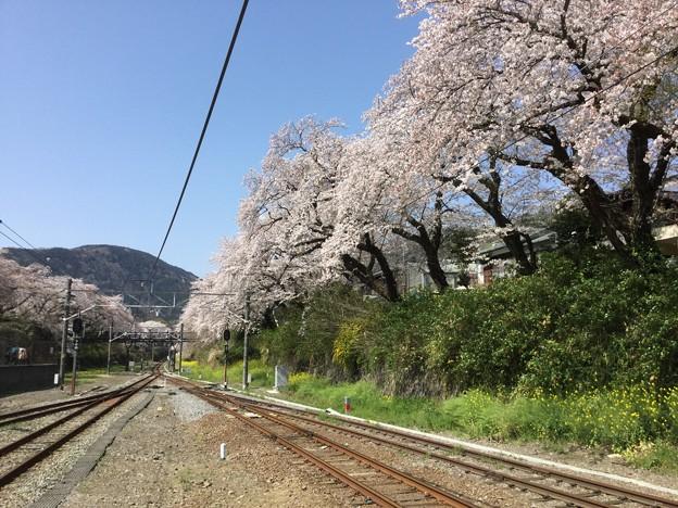 撮って出し。。御殿場線山北駅ホームから山北町の桜満開 3月31日