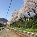 Photos: 撮って出し。。御殿場線山北駅ホームから山北町の桜満開 3月31日