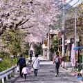 桜散り始めも。。山北町の桜風景 3月31日