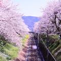 御殿場線山北の桜トンネル。。桜舞う風景 3月31日