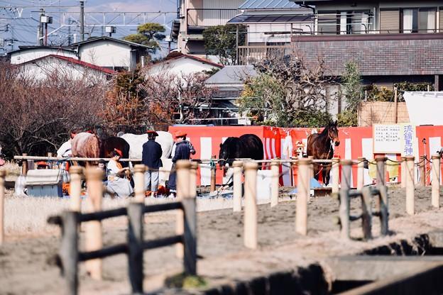 流鏑馬に参加する馬たち。。小田原曽我梅林 20180211
