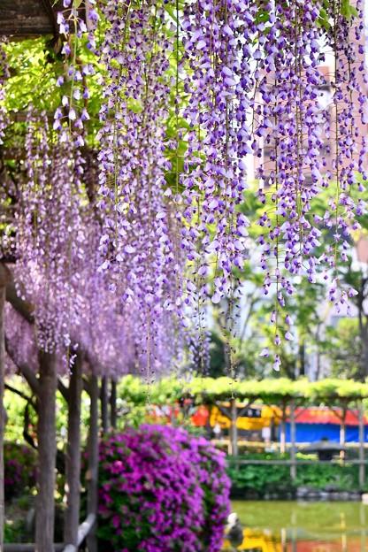 撮って出し。。終わりの藤の花を見に亀戸天神へ 4月22日