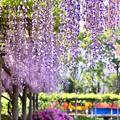写真: 撮って出し。。終わりの藤の花を見に亀戸天神へ 4月22日