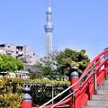 写真: 撮って出し。。亀戸天神から見える東京スカイツリー 4月22日