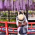 写真: 撮って出し。。亀戸天神 最後の藤の花を夢中に撮る女子 4月22日