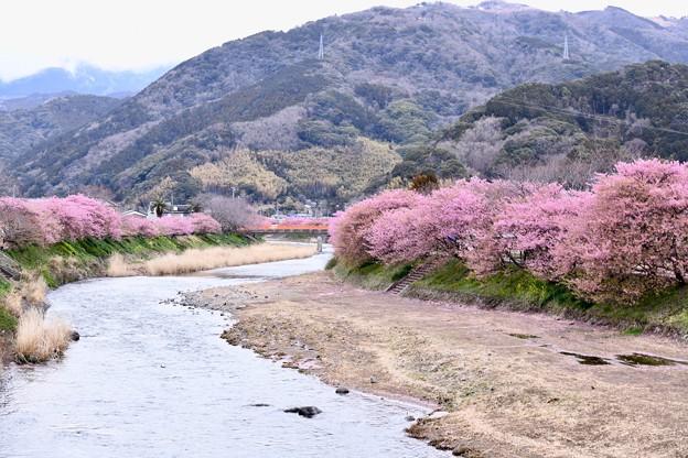 写真: 伊豆河津町の河津桜。。。終わりへ向かう風景 20180306