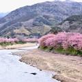 Photos: 伊豆河津町の河津桜。。。終わりへ向かう風景 20180306