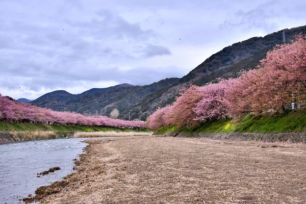 静かな河川敷。。終わりの河津桜。。20180306