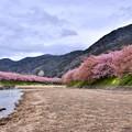 Photos: 静かな河川敷。。終わりの河津桜。。20180306