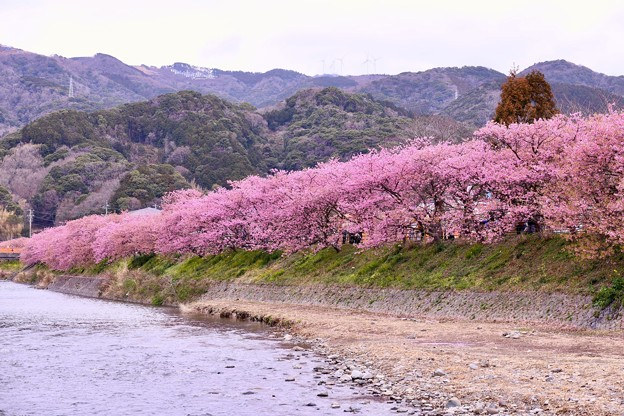 散りゆく河津桜。。最後に見せるピンク色 20180306