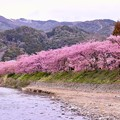 写真: 散りゆく河津桜。。最後に見せるピンク色 20180306