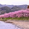 Photos: 散りゆく河津桜。。最後に見せるピンク色 20180306