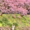 写真: 自撮り女子。。河津町の河津桜 20180306