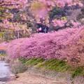 写真: 伊豆河津町 河川敷沿いの河津桜 20180306