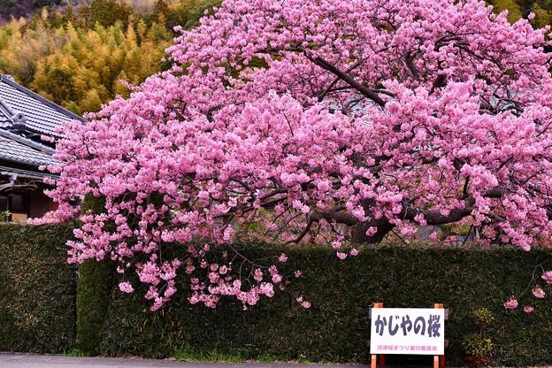 伊豆河津町。。ここは満開の河津桜。。20180306
