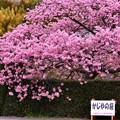 写真: 伊豆河津町。。ここは満開の河津桜。。20180306