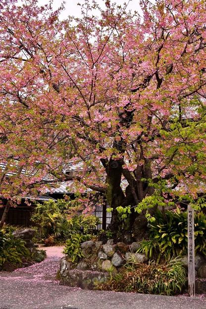 河津桜の原木。。すでに終わりへ 20180306