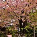 Photos: 河津桜の原木。。すでに終わりへ 20180306
