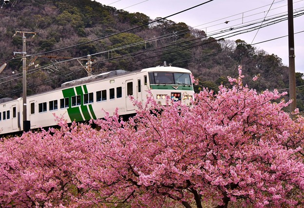 伊豆踊り子号と河津桜。。河津駅 20180306