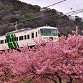 Photos: 伊豆踊り子号と河津桜。。河津駅 20180306