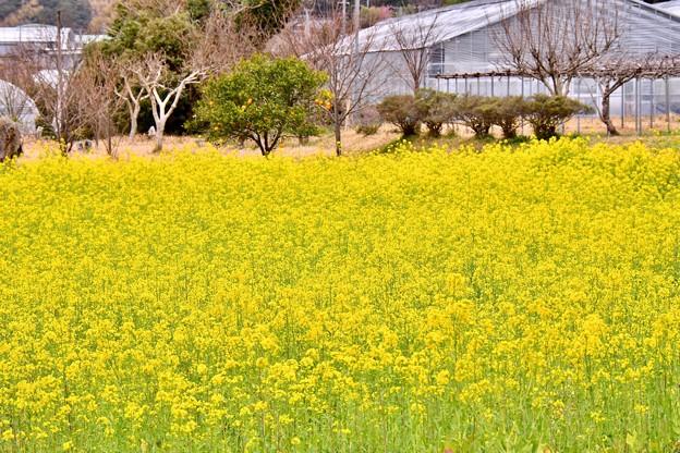 河津町の菜の花。。河津桜に負けない咲き 20180306
