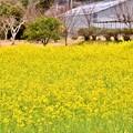 写真: 河津町の菜の花。。河津桜に負けない咲き 20180306