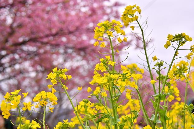 伊豆河津町。。菜の花と河津桜のコラボ黄色とピンク 20180306