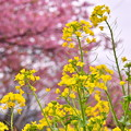 写真: 伊豆河津町。。菜の花と河津桜のコラボ黄色とピンク 20180306