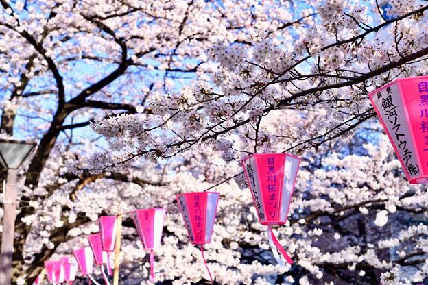 Photos: 目黒川桜まつりらしい天気。。(1)  20180325