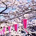 目黒川桜まつりらしい天気。。(1)  20180325