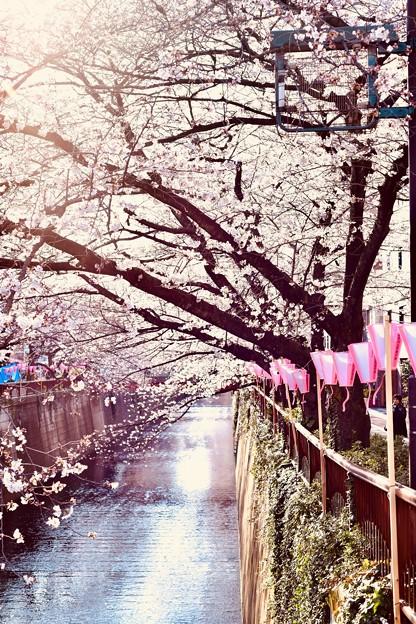 目黒川桜まつりらしい天気。。(2)  20180325