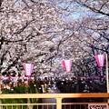 Photos: 目黒川桜まつりらしい天気。。(3)  20180325