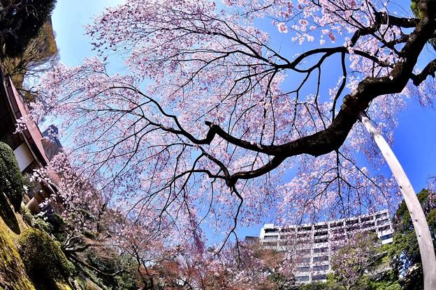 都会の庭園 小石川後楽園魚眼で見る枝垂れ桜(1)  20180325