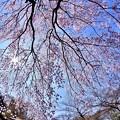 都会の庭園 小石川後楽園魚眼で見る枝垂れ桜(2)  20180325