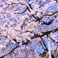 都会の庭園 小石川後楽園魚眼で見る枝垂れ桜(3)  20180325