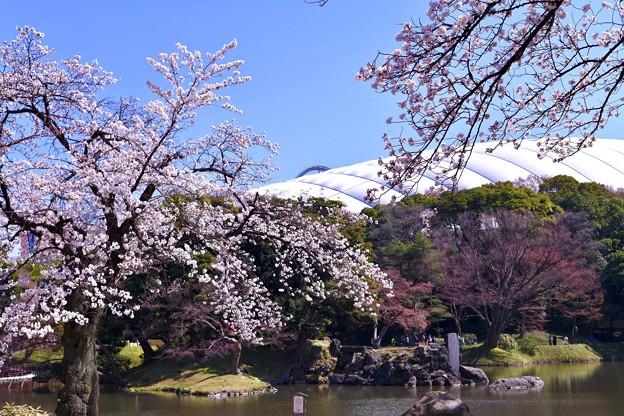 小石川後楽園。。桜と東京ドーム 20180325