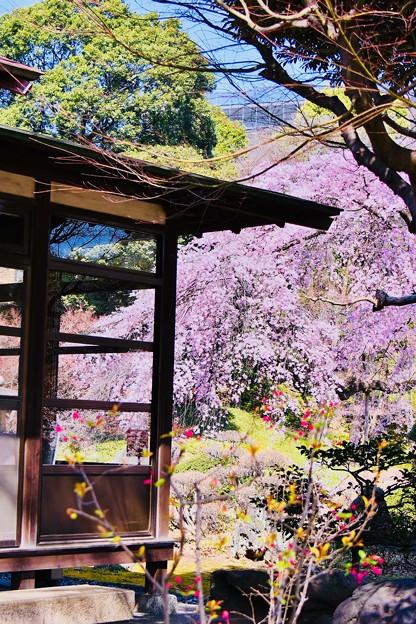 小石川後楽園。。庭園の中に綺麗な枝垂れ桜 20180325