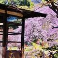 写真: 小石川後楽園。。庭園の中に綺麗な枝垂れ桜 20180325