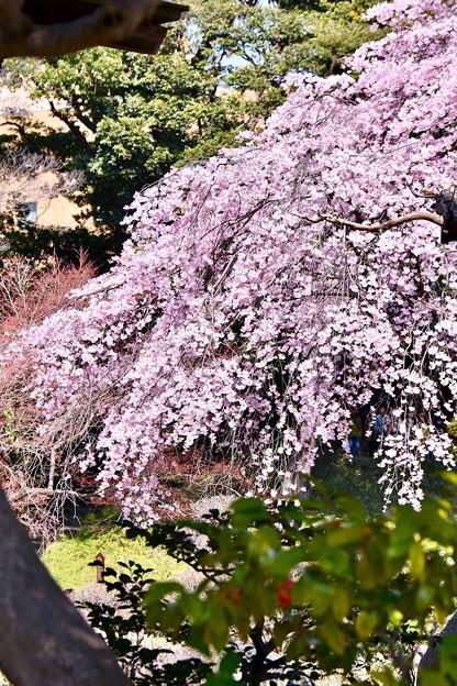 小石川後楽園。。満開だった桜。。20180325