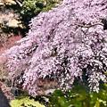 写真: 小石川後楽園。。満開だった桜。。20180325