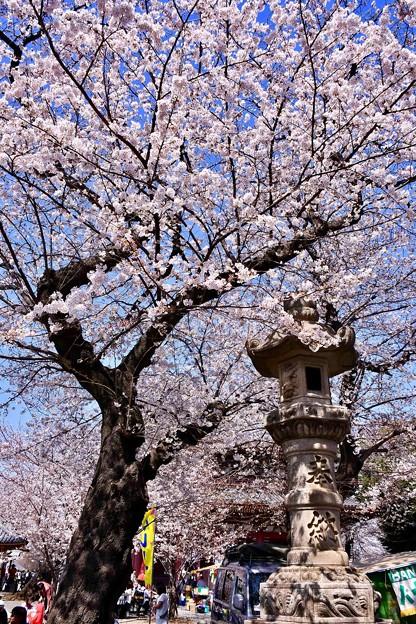 東京都大田区 池上本願寺の桜(1)。。20180325