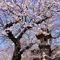 写真: 東京都大田区 池上本願寺の桜(1)。。20180325